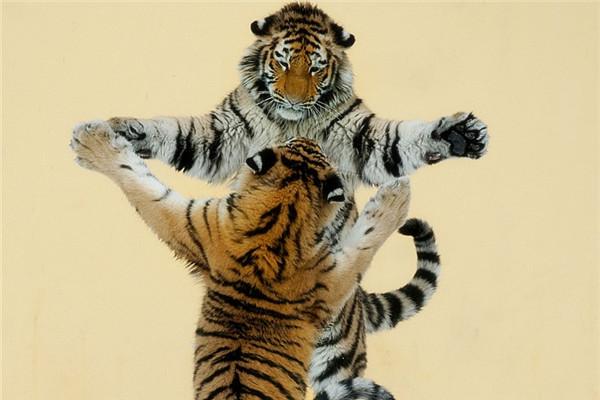 两只老虎.jpg