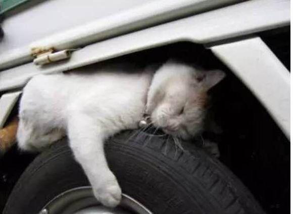 车下取暖动物